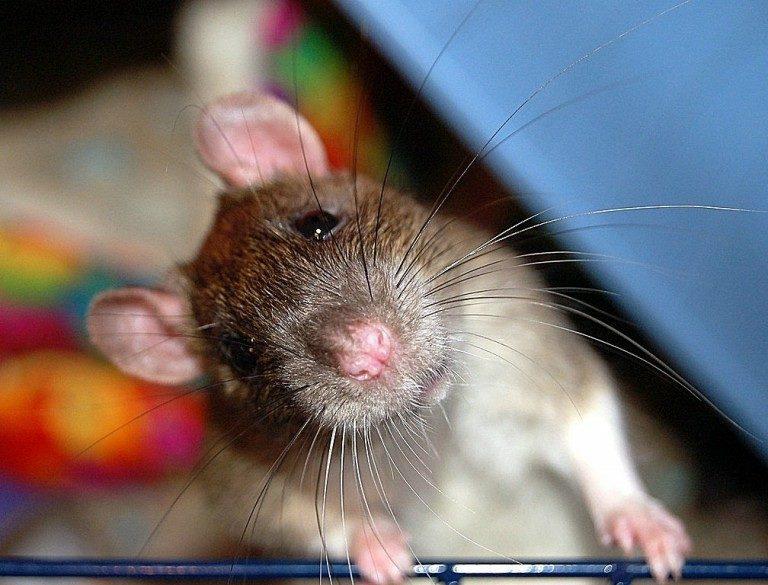 Боязнь крыс