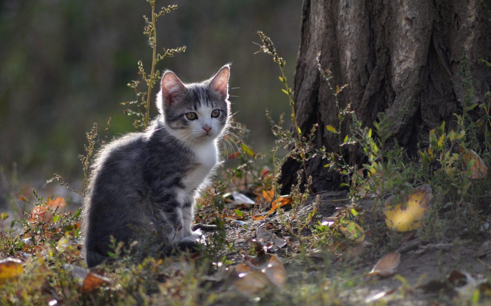 Клещ у котенка