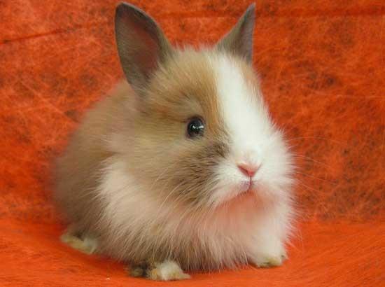 Карликовый кролик дома