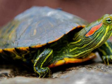Красноухая черепаха дома