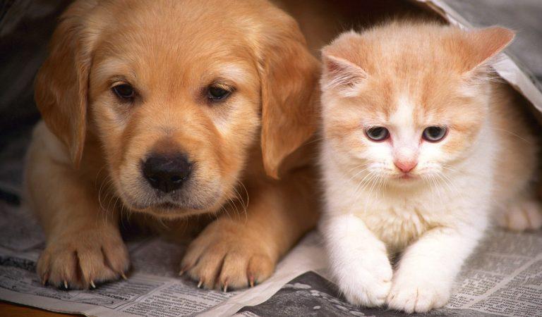 Как подружить щенка с кошкой?