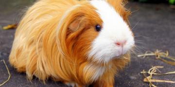 Чем кормить морскую свинку в домашних условиях?