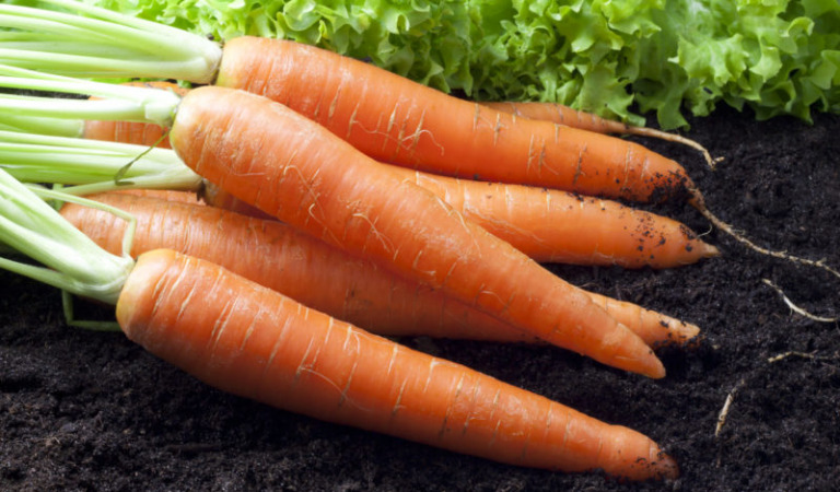 Секреты получения большого урожая моркови