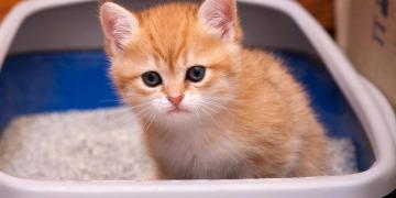 Как приручить котенка к лотку?