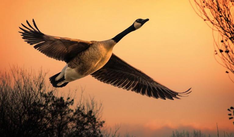 Незабываемая охота на гуся