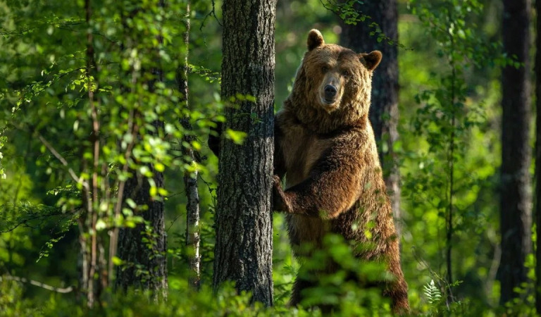 Как охотится на медведя с лайками?